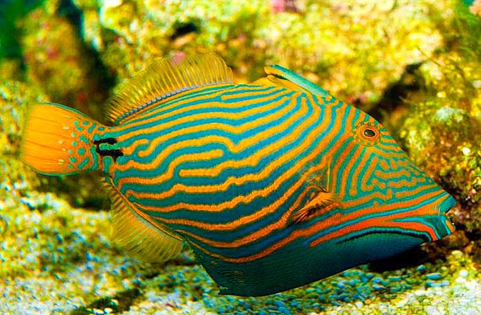 pez ballesta ondulado