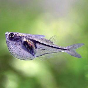 pez hacha