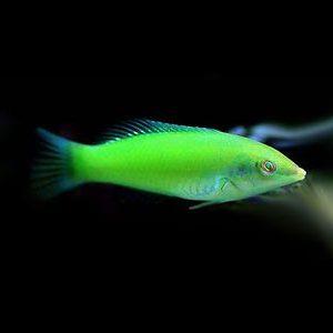 pez-verde