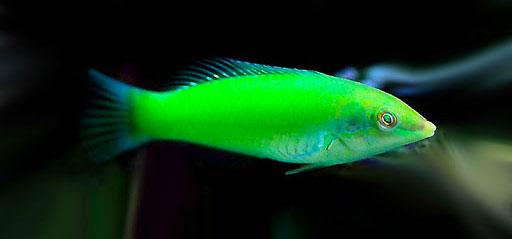 pez verde