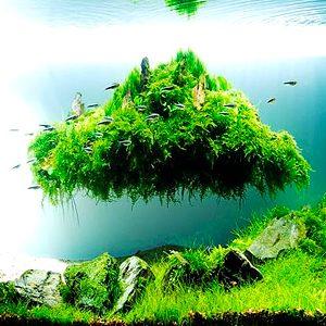 acua plantado