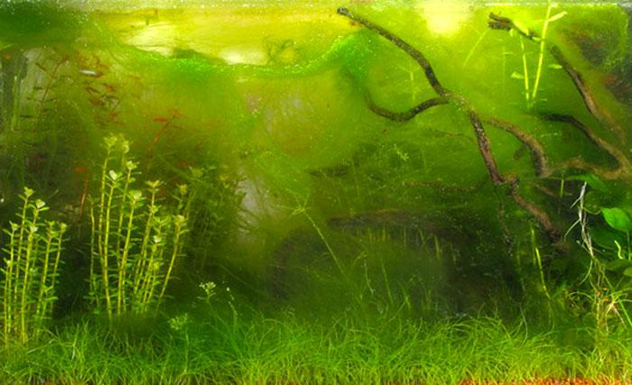 antialgas acuario